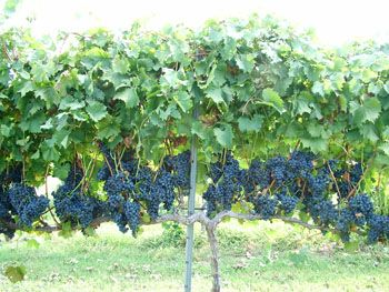 Grapes Production - Training and Trellising Grape Vines