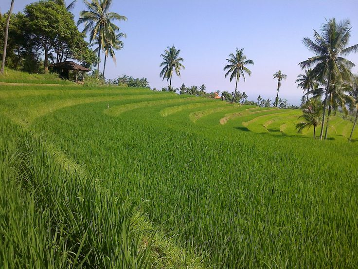 Bali, Buleleng - Panji : Afternoon a rice field