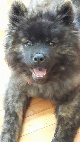 Akita Chow Dog Breed Information and Pictures