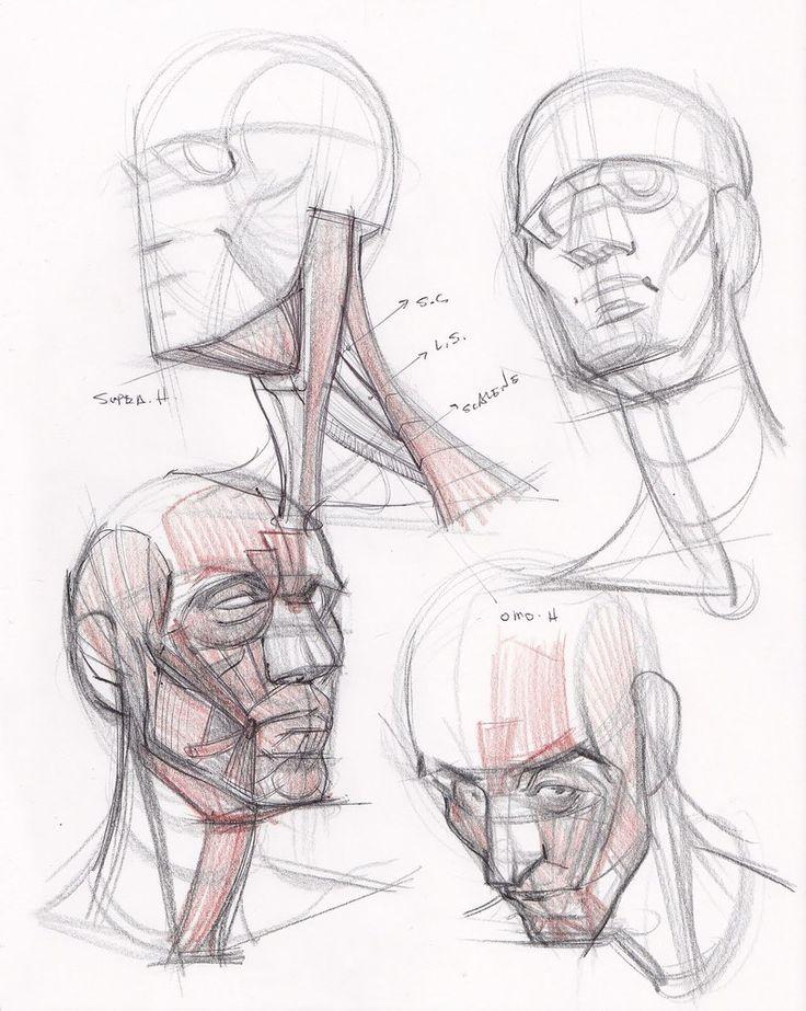 стало известно, анатомия лица человека для художников картинки это как
