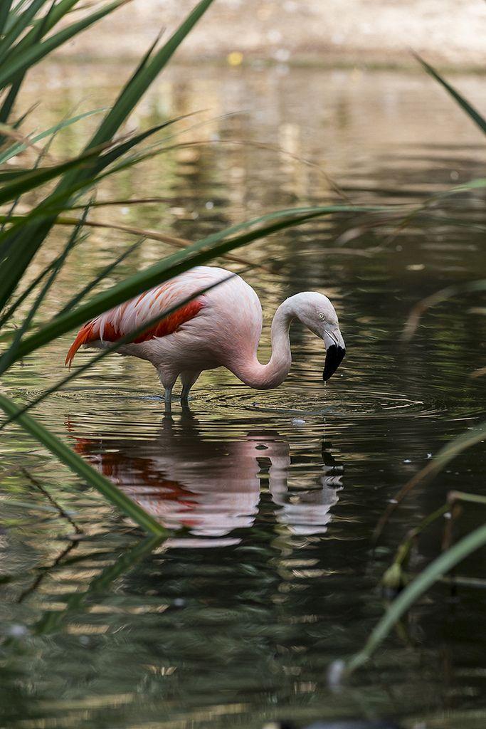 Chilean flamingo ByOfficial San Diego Zoo