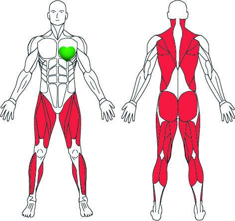 TUNTURI løbebånds effektivitet på kroppens muskelgrupper.