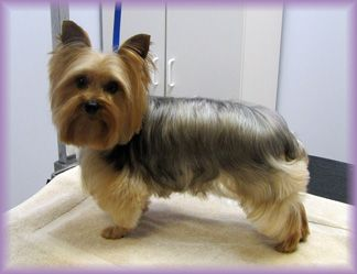 25 best ideas about yorkie hairstyles on pinterest