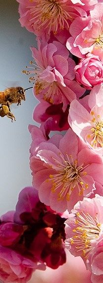 pink hollyhocks and a bee