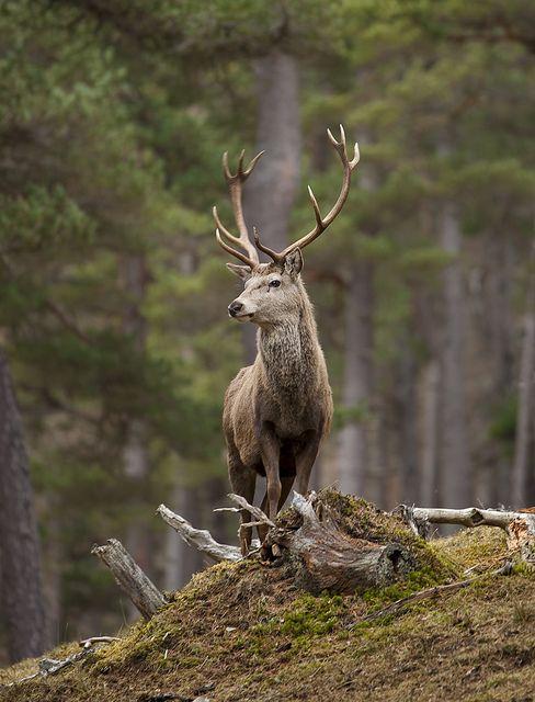 Red Deer Stag standing proud by David C Walker 1967, via Flickr