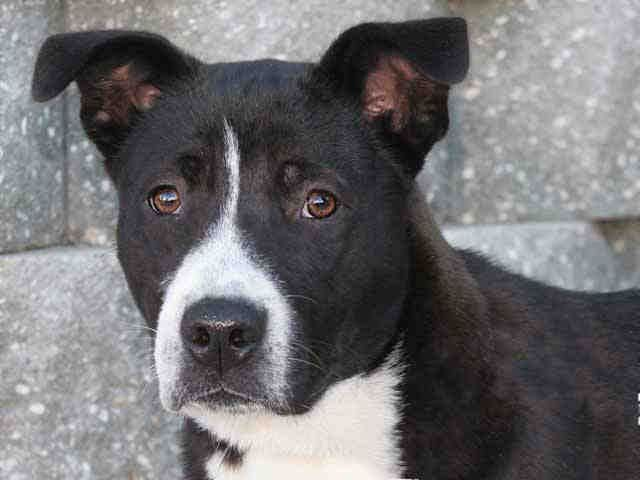 boarder collie pitbull mix is the best dog breed in the world loyal ...