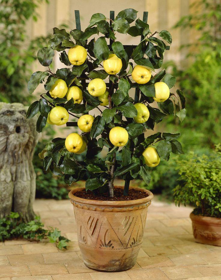 27 Best Apple Tree Seeds Images On Pinterest Apple Tree 400 x 300