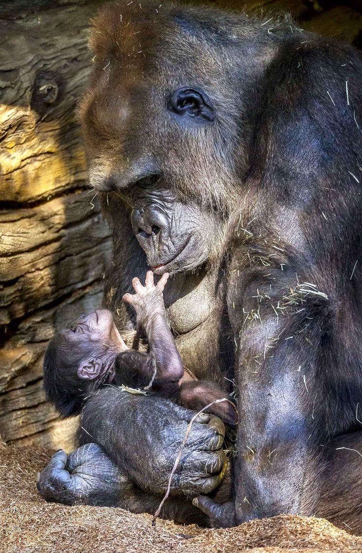 Kokomo tient son nouveau né au zoo de San Diego. Il a seulement 2 jours.