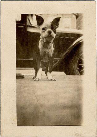 Amzingly cute Boston Terrier #vintage