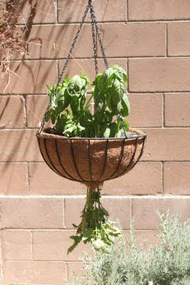 upside down hanging tomato plant with basil planted on top.  Much prettier than those UGLY topsy turvery things!!!