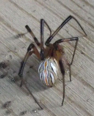 This is a male Western Black Widow. The female is all black, with the hour-glass figure on the bottom, but the male has this different color pattern on the abdomen. Males are harmless and have no venom. Females are venomous, and can even be dangerous. It was found on 5 September 2011 while digging up some ground to plant Irises in Colorado Springs.