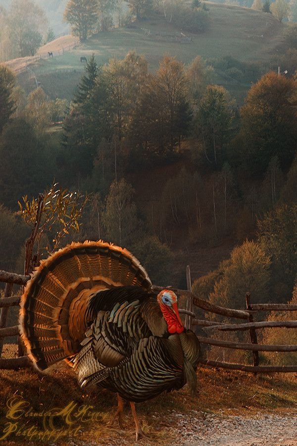 …Hmmm…this turkey looks too majestic…!!! Maybe we'll have filet mignon with all the turkey trimmings instead!