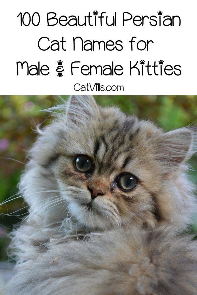 Top 100 Persian Cat Names For Male Female Kitties Catvills Cat Breeds Calming Cat Cat Names