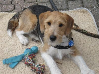 Beagle Terrier Mix | Beagle Fox Terrier Mix Nilix (beagle, foxterrier)