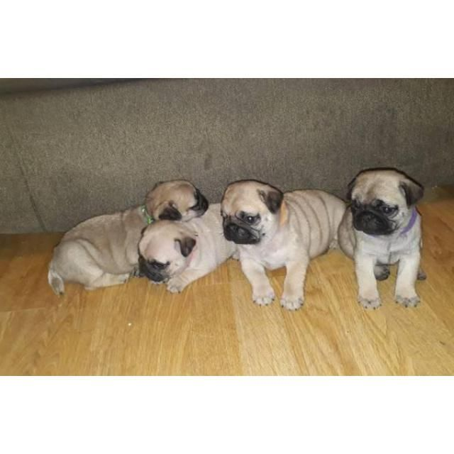 Pug Apache Junction 100 Pure Pug Puppies For Sale We Have 3