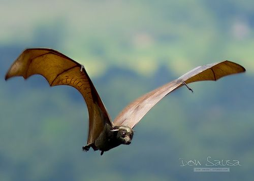Giant golden-crowned flying fox | PHOTOGRAPHY||Animals | Pinterest