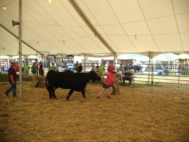 Bridgewater (Somerset County) - A cow goes through an obstacle course as part of the Somerset County 4-H Fair.