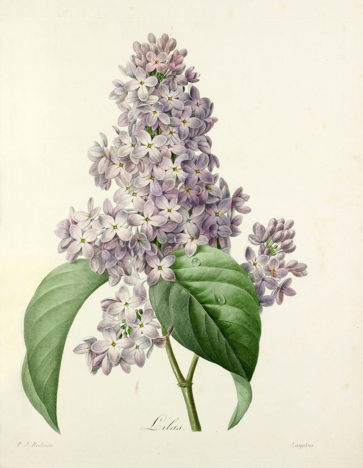 The Language of Love: Lilac – the first emotions of love. This fragrant flower has been intoxicating lovers since it was introduced to Britain in the 1500s. Engraved by Langlois (c.1800) after an original by Pierre Joseph Redouté (1759-1840). From P. J. Redouté's Choix des plus belles fleurs, published in parts (each part containing four plates) in Paris from 1827 to 1833. Plate 76.