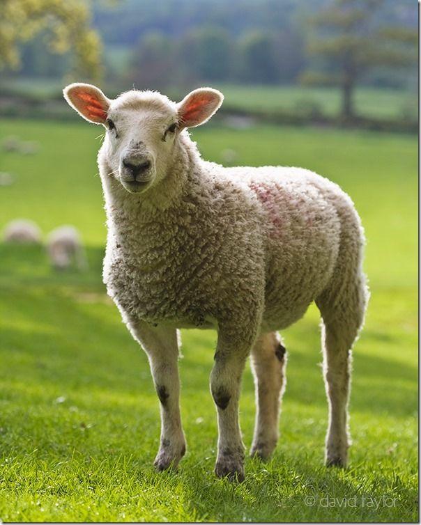 Understanding Lighting: Front Light, Back Light & Side Light #sheep, #photography