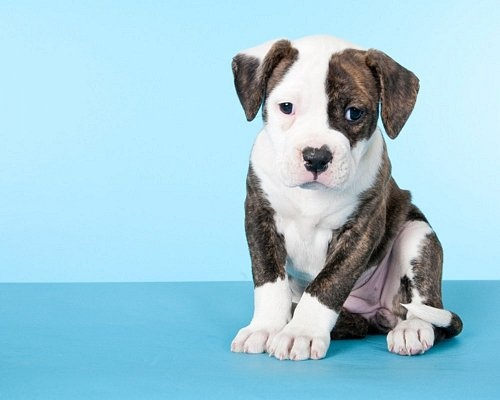 Jade ~ American Bulldog puppy ~ 6 weeks