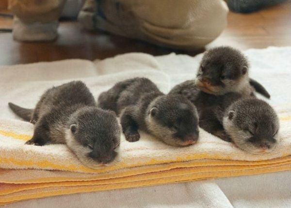 Otter bebehs! Via EmergencyPuppy on TwitterAwww, Critter, Baby Sea Otters, Baby Otters, Pets, Creatures, Baby Animal, Adorable, Things