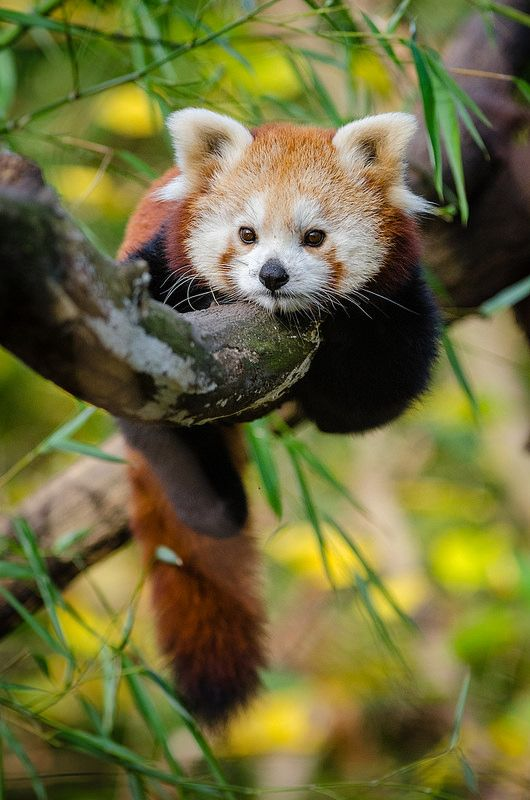 Red Panda | by Mathias Appel