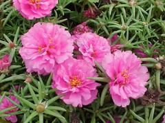 Portulaca grandiflora - Plant Finder Planted front and around mailbox.  Stopwatch Mix. Okay, Didn't like them as much as I thought I would.