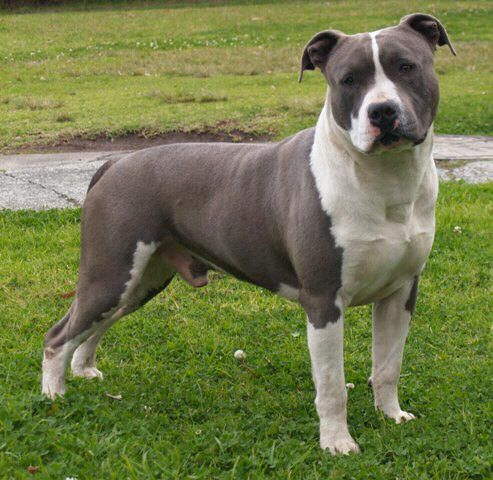 Blue American Staffordshire Terrier | ... kennels breeders of quality blue american staffordshire terriers