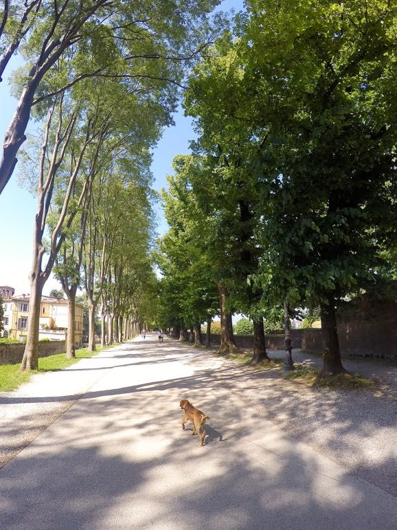 Every man, woman and dog enjoys walking Lucca's walls - one of the best things to do in Tuscany