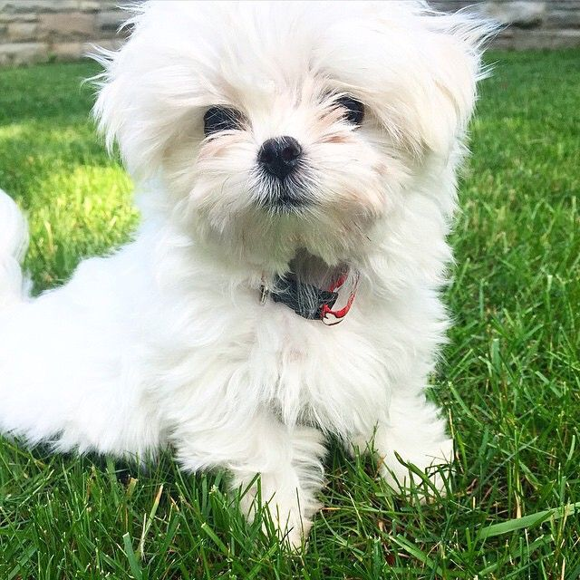 "Say hello to Ralph, an adorable Micro Maltese fluff ball! ""Like"" if this little cutie brightened up your day a bit!"