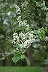 Click to view full-size photo of Mayday (Prunus padus) at Cannor Nurseries