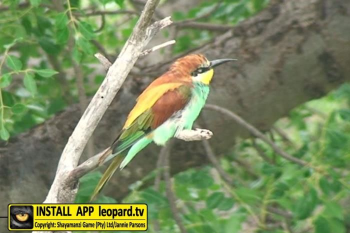 It forms large flocks, sleeping colonially in leafy trees in groups of several hundred birds that sit shoulder to shoulder. The European bee-eater skims the water surface when drinking water. Foraging is done...Read more on leopard.tv #shayamanzi #facts #leopardtv