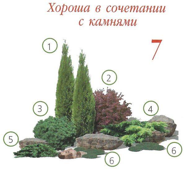 """1. Туя западная """"Holmstrup"""" 2. Барбарис тунберга """"Red Chief"""" 3. Сосна горная """"Mops"""" 4. Можжевельник средний """"Old Gold"""" 5. Можжевельник казацкий """"Tamariscifolia"""" 6. Почвопокровные многолетники """"Мшанка или очитки"""""""