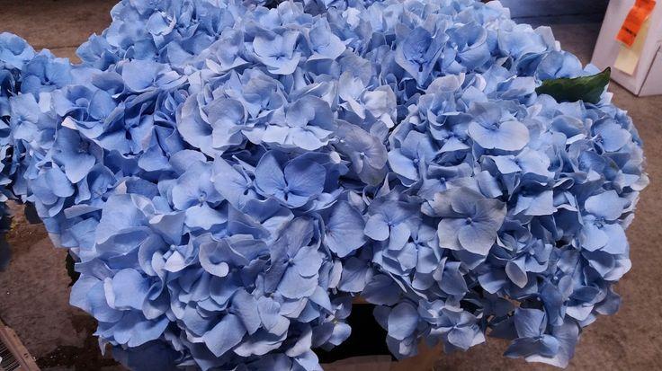 Hydrangea Challenge Blue