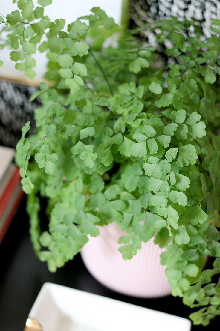 6 secrets to keeping your maidenhair fern alive plants