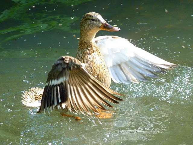 74 best ducks unlimited images on pinterest ducks for Duck pond water