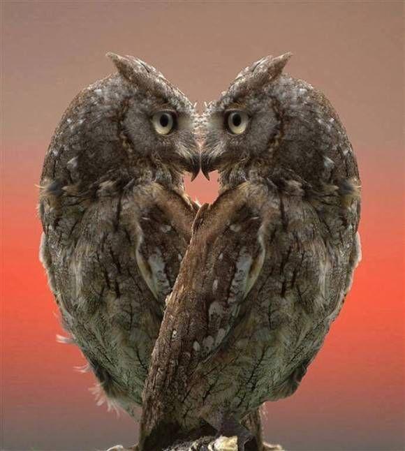 heart ーフクロウの耳はたいてい左右非対称で、大きさも高さも違う。