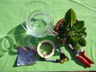 Revista Energía & Jardines: Multiplicando Violeta Africana (Saintpaulia ionant...