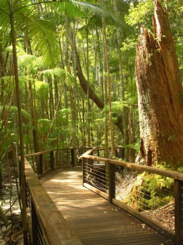 Boardwalk by Wanggoolba Creek, Fraser Island, Queensland, Australia Photographic Print by David Wall at AllPosters.com
