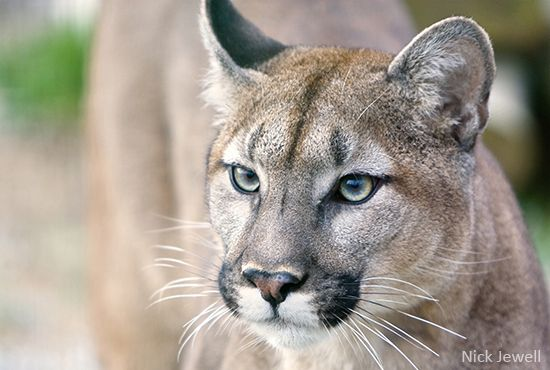 It is estimated that fewer than 200 Florida panthers remain, but they could soon be stripped of their endangered species protections -- their last defense against extinction. Add your voice to save them.