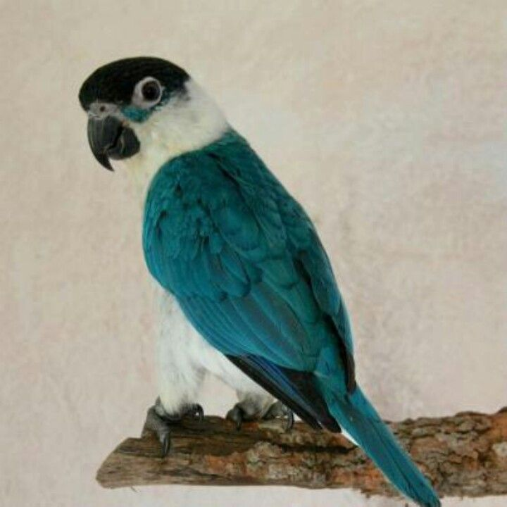 Blue caique... is this real... or not?