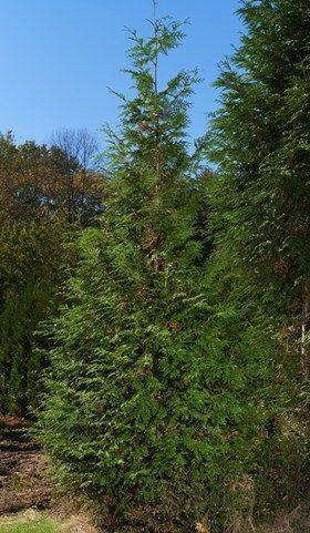 "Wholesale Nigra Arborvitae Trees (Thuja occidentalis ""nigra"")   Brown's Tree Farm"