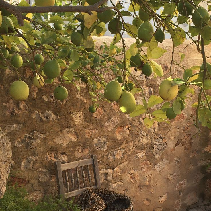 Egna citroner till frukostdrinken.