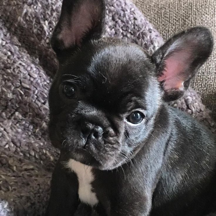 """""""Did mommy say peanut butter?"""", French Bulldog Puppy, #eatclean #peanutbutterbaby #frenchie #frenchielove"""