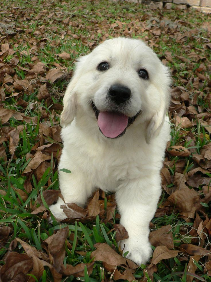 The cutest!! English cream golden retriever