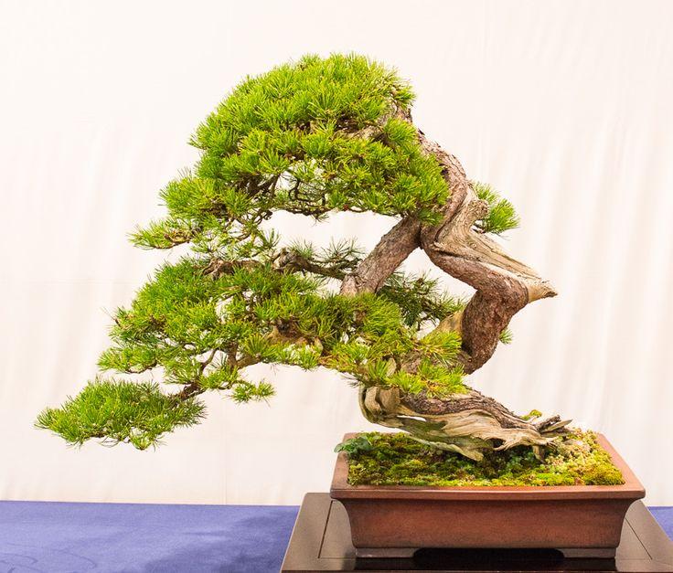 alte berg kiefer pinus mugo auf der bundesausstellung 2014 in mannheim bonsai b ume. Black Bedroom Furniture Sets. Home Design Ideas