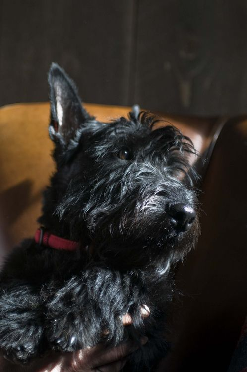 Please? If I can have a Mini right now could someone PLEASE get me Scottish Terrier?