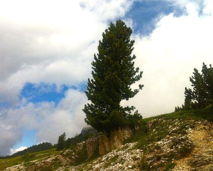 Il cirmolo. Re delle Alpi.