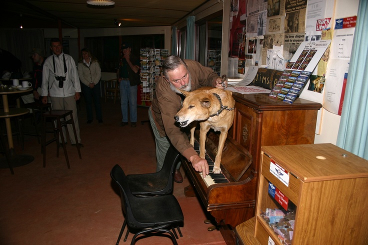 Dinky the singing dingo - Stuarts Well Northern Territory.