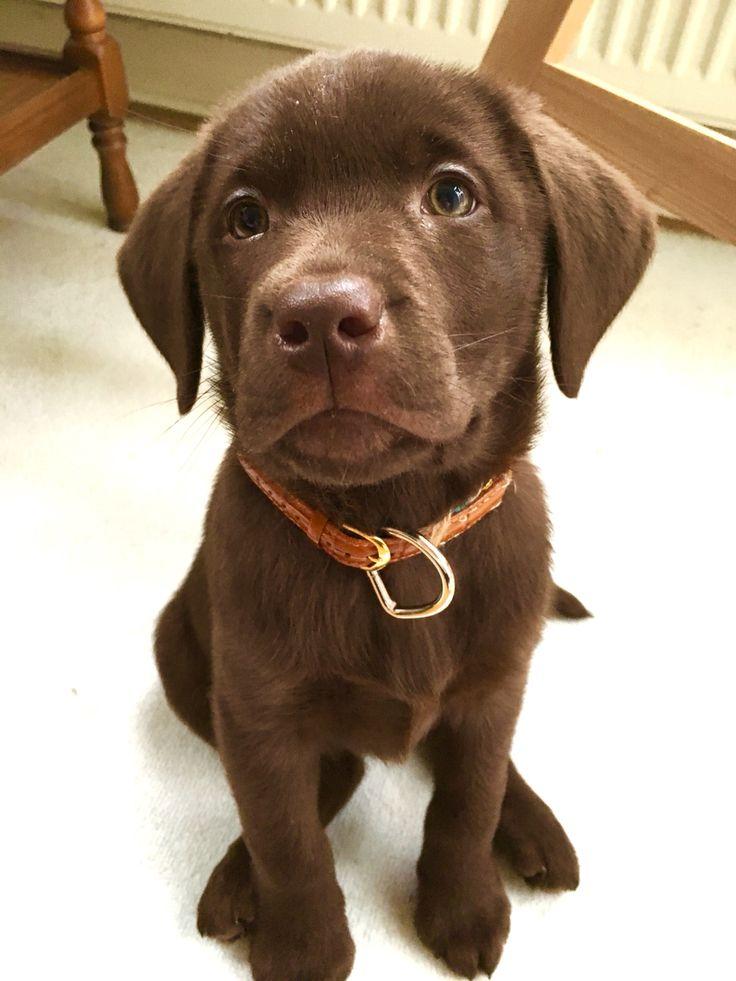 Labrador Dog Hund braun hundeblick
